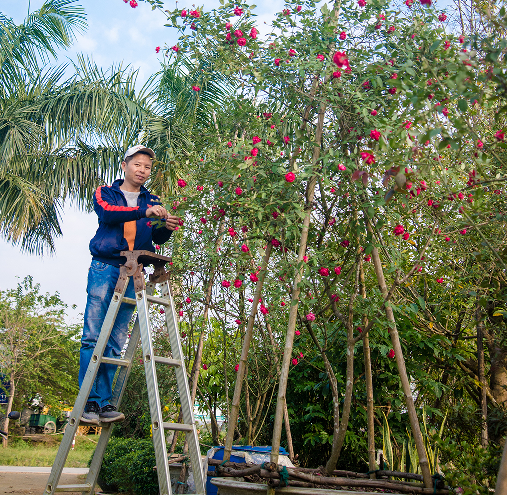 Hue antique rose has long life. Many plants are over 3-meter high
