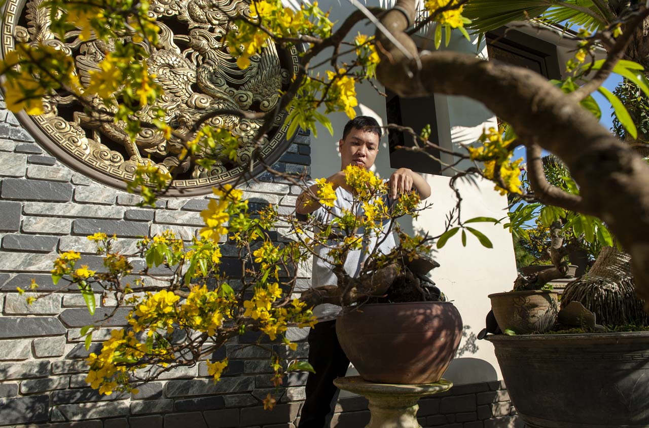 Caring for yellow apricot trees requires many years of delicate care and patience