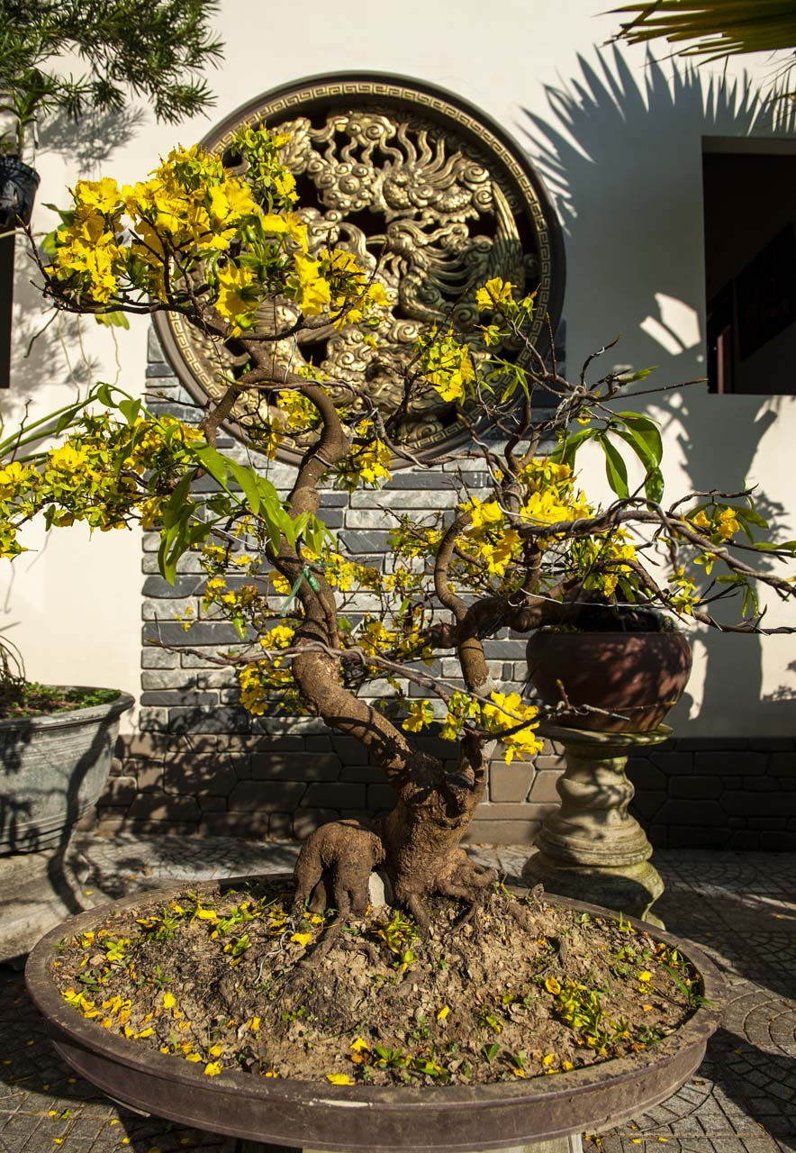 The 30-year old apricot tree is carefully shaped into a spiritual animal with beautiful roots, which is highly appreciated among collectors