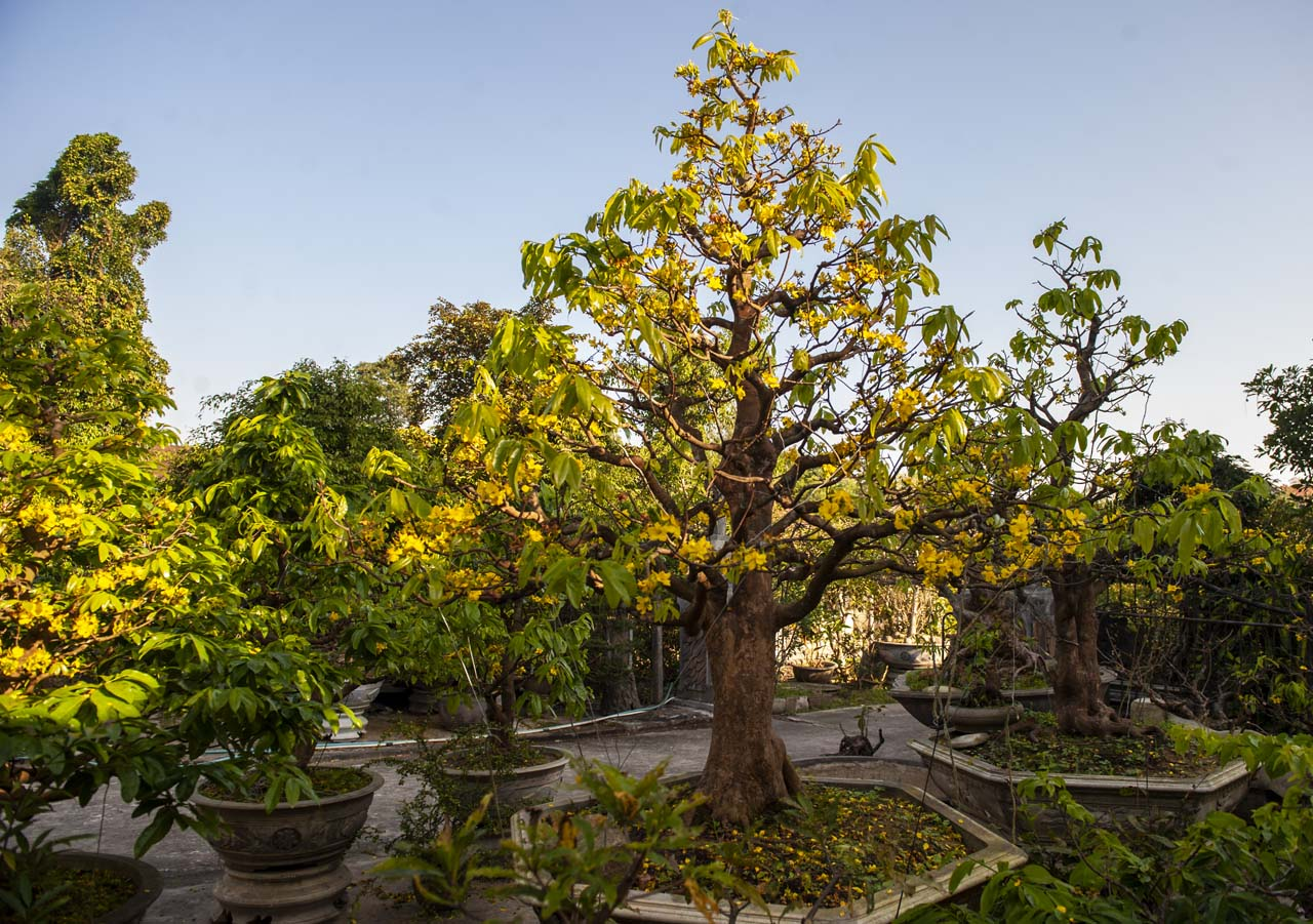 This nearly hundred years old yellow apricot tree is cared for attentively