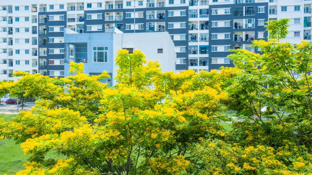 The yellow dalbergia boniana flowers beautify the urban areas and make the buildings more harmonious