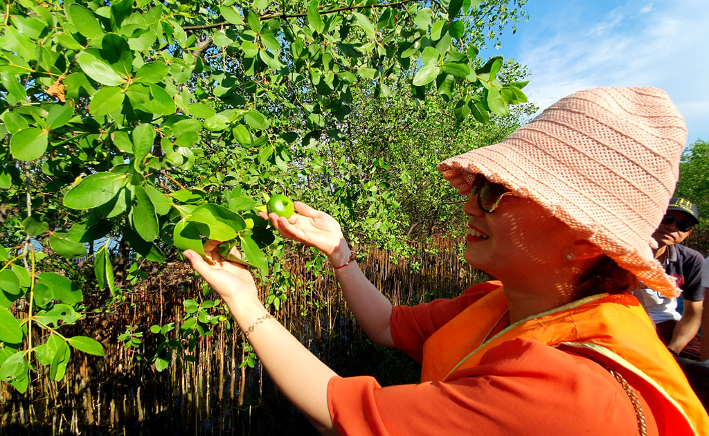Apple Mangrove, a typical fruit of Tam Giang lagoon, is picked to make sauce for seafood
