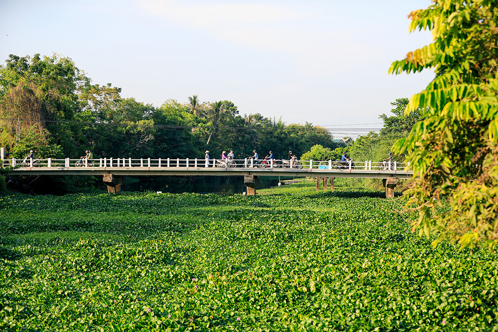 "Water hyacinth ""invading"" the river's water surface, blocking the flow"