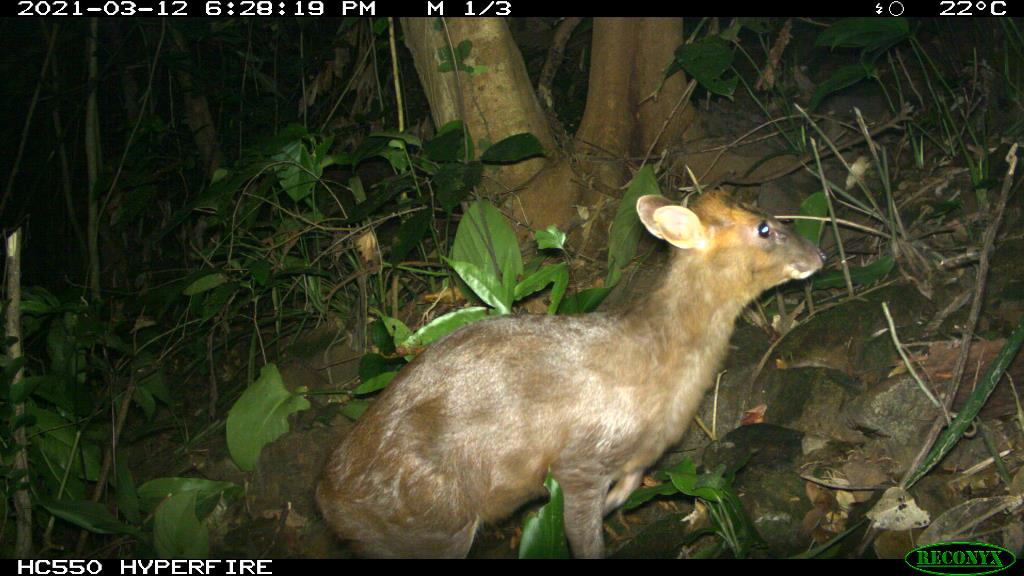 The rare muntjac recently discovered in Phong Dien Nature Reserve. Photo: Phong Dien Nature Reserve