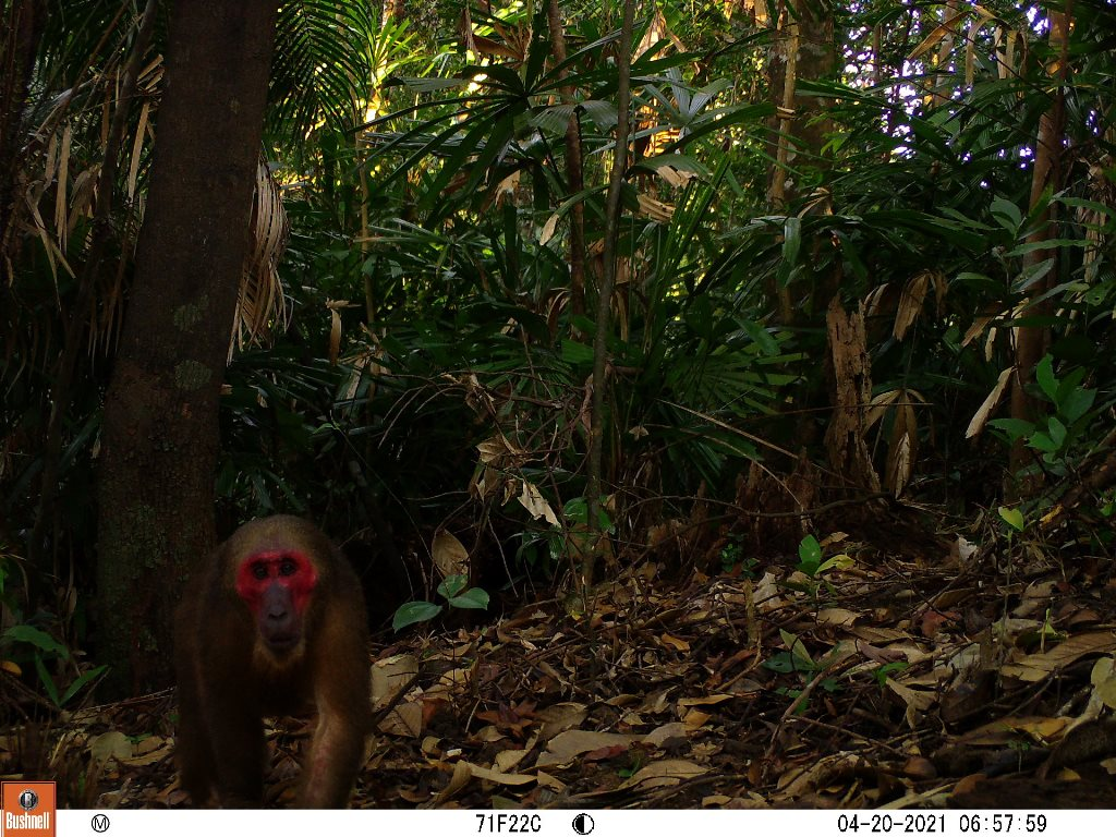 Red-faced monkey (Macaca arctoides) . Photo: Phong Dien Nature Reserve