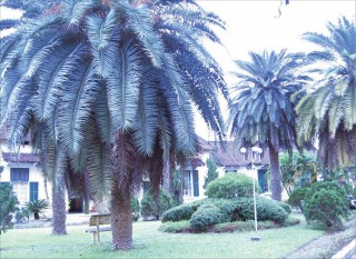 The Canary date palms in Hue now have their successors