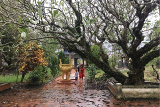 Visiting Giac Luong Pagoda to behold the frangipani tree of over 200 years old