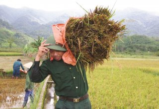 Helping farmers to harvest rice